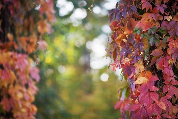 Rami di uva nubile in autunno foglie di vite fresca su un bellissimo sfondo sfocato.