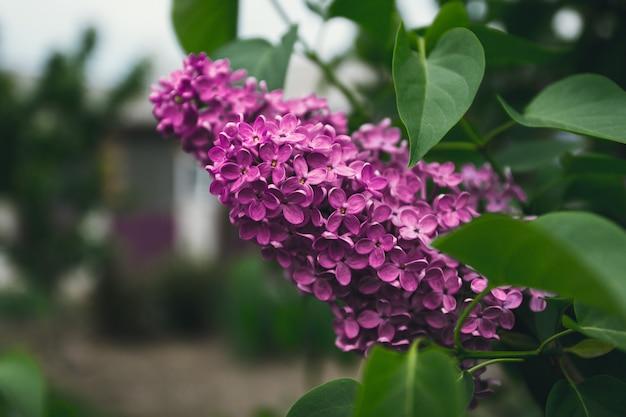 Rami di lillà viola contro il cielo.