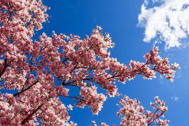 Rami di magnolia primaverile in fiore su uno sfondo di cielo blu