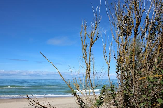 Rami di ciliegi selvatici e cespugli su una duna di sabbia del mar baltico