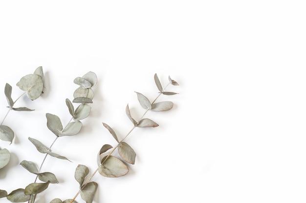Rami con foglie di eucalipto isolati su sfondo bianco