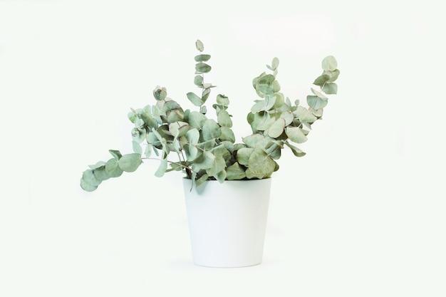 Rami con foglie di eucalipto in un vaso in ceramica bianca su sfondo bianco