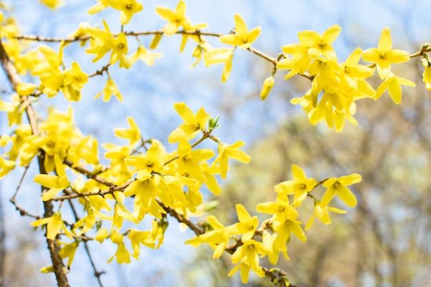 Rami con fiori gialli di forsizia contro il cielo blu.