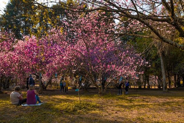 Festa da cerejeira brasiliana