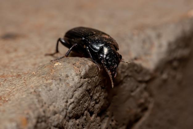 Coleottero terrestre brasiliano della sottofamiglia harpalinae
