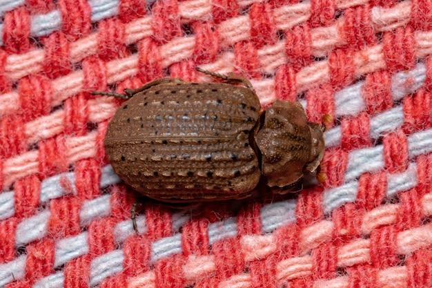Coleottero brasiliano di pelle della specie omorgus suberosus