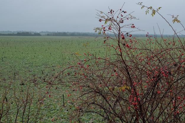 Arbusto di rosa canina selvatica in radica in natura paesaggio del tardo autunno ramo di rosa canina cinorrodi