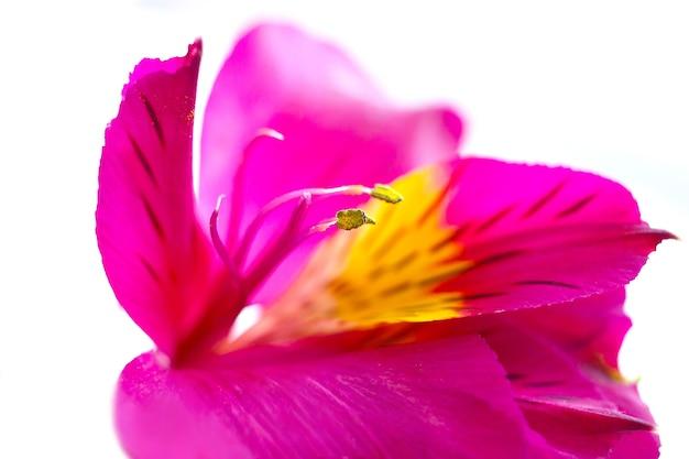 Macro luminosa dei petali del fiore del giglio di alstroemeria