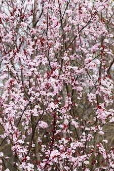 Bellissimi fiori luminosi di ciliegio rosso in fiore nel frutteto, bellissimi fiori rosa in primavera o in estate, fiori di ciliegio in fiore