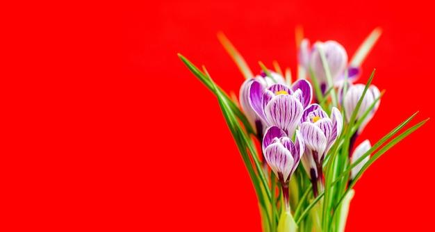 Luminoso bouquet di crochi primaverili, sulla parete rossa.