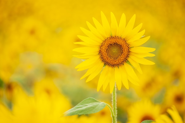 Girasole giallo di colore brillante, bel fiore.