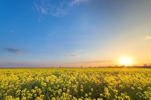 Canola campo tramonto colorato luminoso