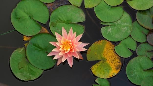 Ninfee di fiori delicati luminosi tra foglie verdi sull'acqua