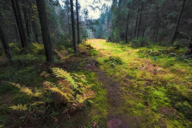 Cespugli di felce luminosi in una foresta settentrionale autunnale scura