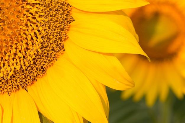 Giacimento dorato luminoso del girasole al tramonto.