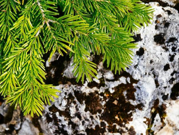 Un ramo verde brillante di pino o abete rosso sullo sfondo di una roccia, copia dello spazio.