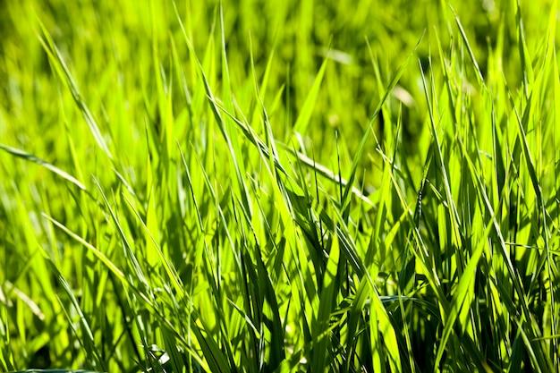 Erba verde brillante sul prato, illuminata dalla luce del sole nella stagione primaverile, primo piano in natura