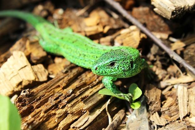 Lucertola verde brillante di detriti di legno vicino al suo nido.