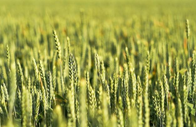Campo di grano verde brillante al tramonto, primo piano, fuoco selettivo. il nuovo raccolto di cereali matura in estate. concetto agricolo, azienda di alimenti biologici