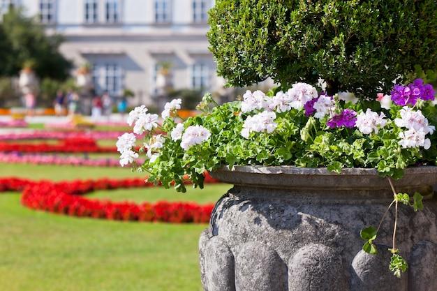 Luminosi fiori di heranium in antico vaso di pietra