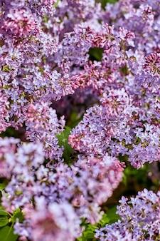 Fiori lilla luminosi in una bella giornata di sole estivo. i cespugli di lillà di grande bellezza fioriscono in natura. la primavera è arrivata