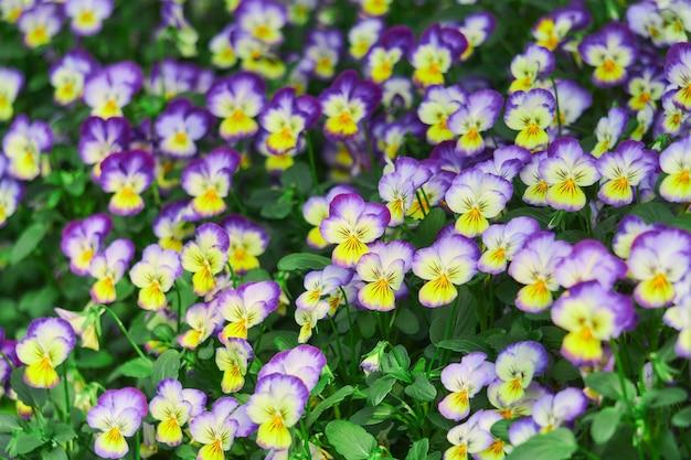 Sfondo floreale naturale luminoso con fiori viola del pensiero