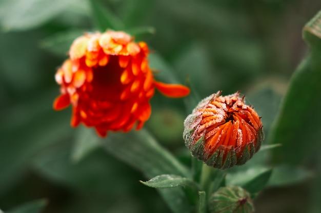 Un fiore di calendula arancione brillante contro una superficie verde è coperto di brina all'inizio dell'inverno, primo piano
