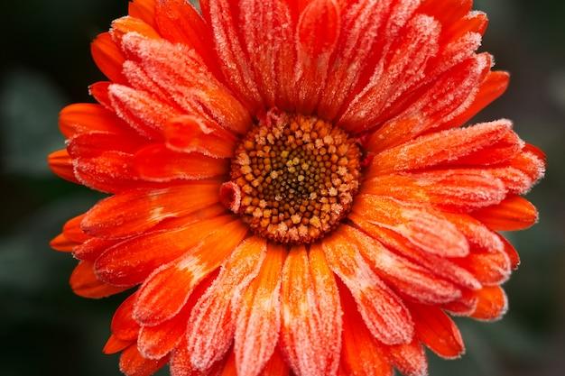 Un fiore di calendula arancione brillante coperto di brina all'inizio dell'inverno, primo piano.