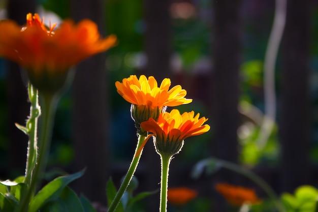 Fiori di calendula arancione brillante in una giornata estiva. calendula officinalis in giardino. giorno soleggiato.
