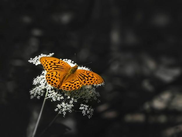 Una farfalla madreperlacea grande arancione brillante che si siede su un fiore bianco contro l'erba scura vaga