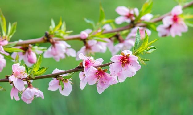Fiori di pesco rosa brillante nel giardino su un verde
