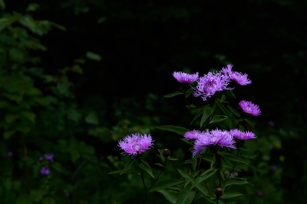 Fiori viola luminosi di fiordaliso sullo sfondo del cupo sottobosco della foresta