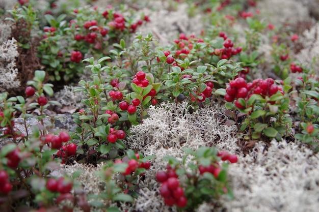 Bacche rosse luminose di mirtilli rossi sui cespugli con foglie verdi crescono su rami di muschio bianco sul terreno.