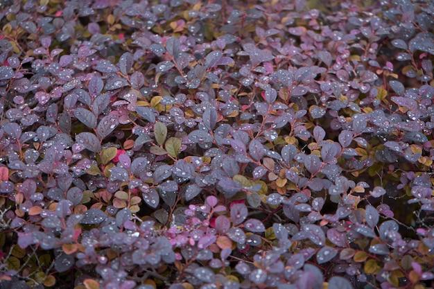 Le bacche rosso brillante di un arbusto di crespino giapponese rosso. berberis thunbergii fatropurpurea. scatto dopo la pioggia
