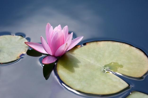 Acqua di loto giglio fiore rosso brillante