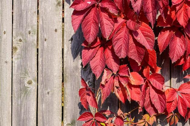 Rosso brillante foglie di piante da giardino su woodel vecchio muro di plancia