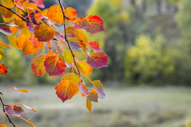 Foglie rosse e arancioni luminose sui rami della tremula sulla foresta