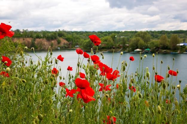 Papaveri rossi luminosi sulla riva del lago