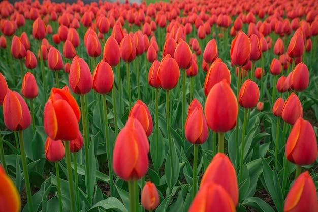 Uno sfondo di fiori di tulipano rosso brillante. colpo di bokeh macro.