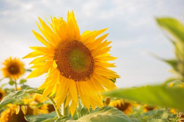 Fiori maturi luminosi dei girasoli nel campo al tramonto, bei fiori arancio, prodotti agricoli, olio di girasole