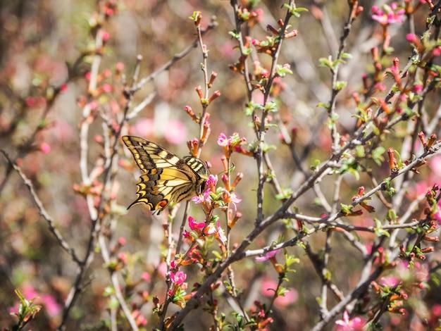 Sfondo naturale estivo luminoso con una farfalla. scarsa farfalla a coda di rondine posata su fiori rosa primaverili selvatici. la farfalla beve il nettare da un fiore.