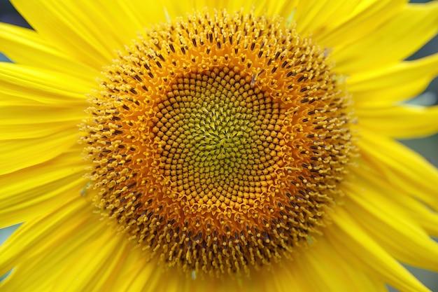 Primo piano luminoso del fiore del girasole