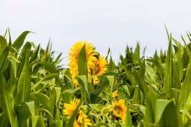Girasole luminoso con petali gialli su un campo agricolo, di infiorescenze di girasoli che crescono insieme al mais in estate, due colture agricole insieme