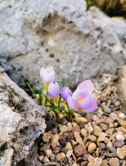 Crochi luminosi e teneri su terreno roccioso primi fiori primaverili