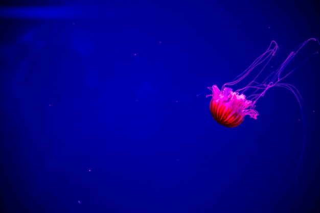 Meduse al neon trasparenti luminose nell'acquario