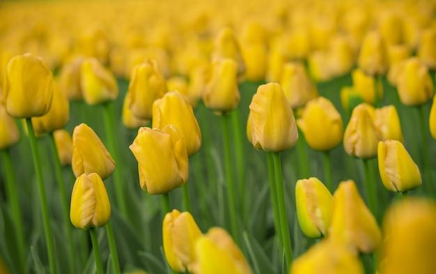 Tulipani luminosi in un soft focus, fiori di primavera in primo piano nel giardino. fiori di tulipano giallo brillante.