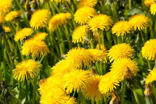 Denti di leone in fiore giallo brillante nel campo nei denti di leone di stagione primaverile