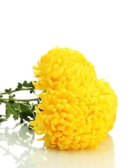 Crisantemi gialli luminosi, su fondo bianco