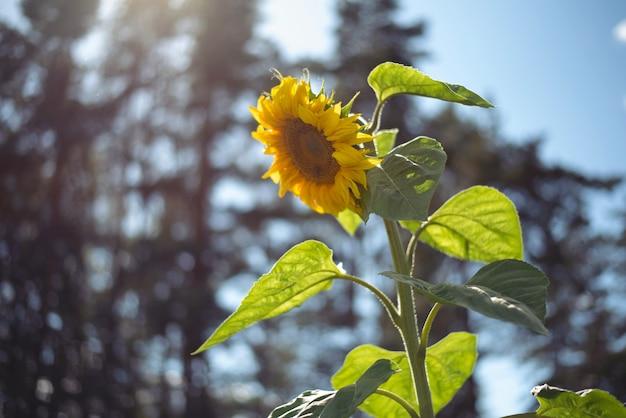 Alto girasole giallo brillante sullo sfondo di alberi e cielo in una giornata di sole