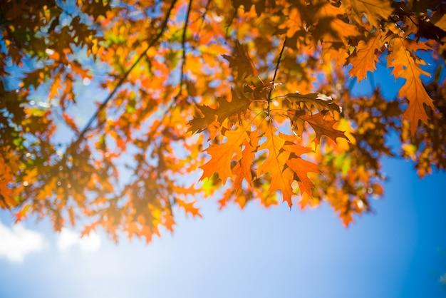 Foglie gialle luminose sulle betulle autunnali contro il cielo blu.